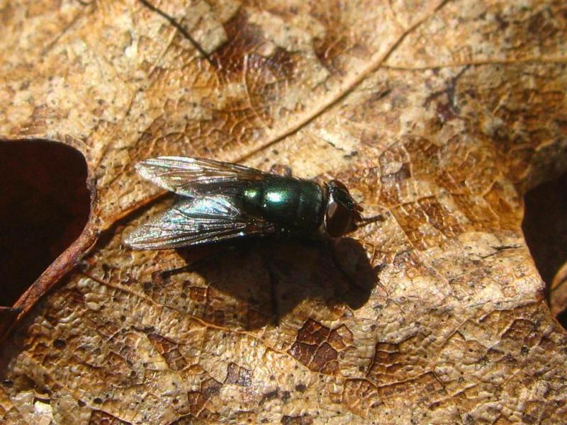 Fly-on-Oak-Leaf