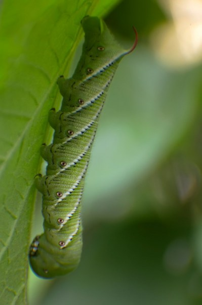 A Very Hungry Caterpillar
