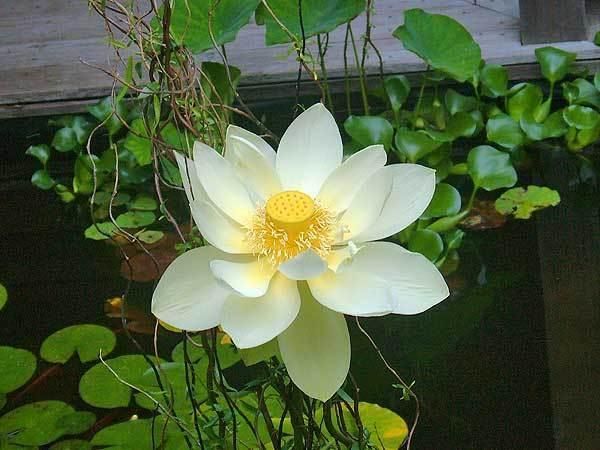Pond-Life