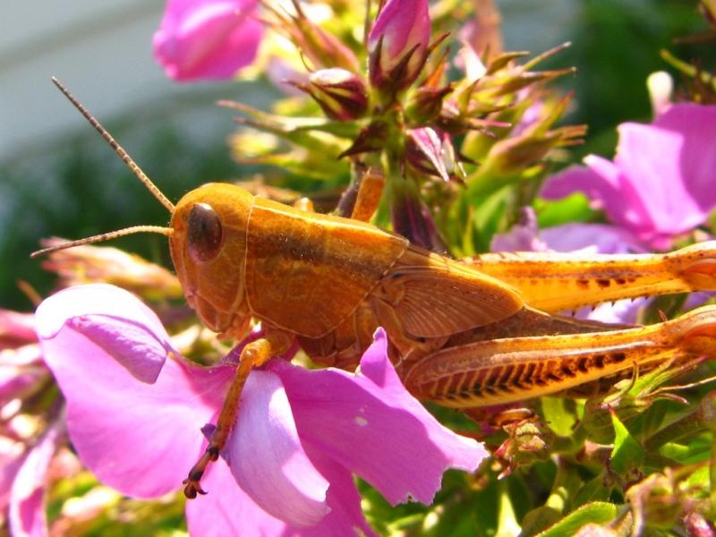 The-Golden-Grasshopper