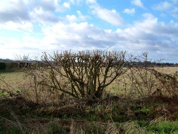 In-the-hedgerows