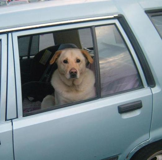 Dogs Waiting in Cars