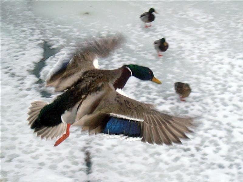 Quack-Pilot