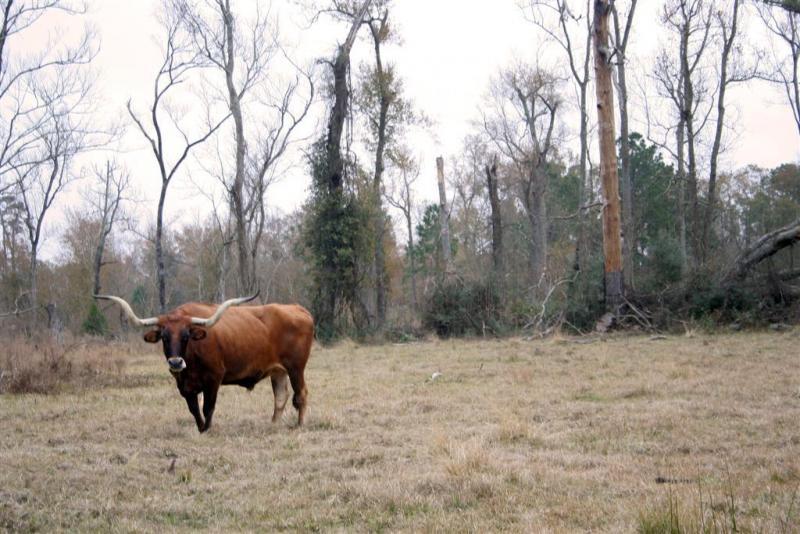 Texan-Cow
