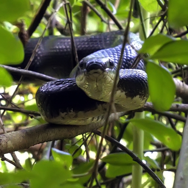 Rat-Snake