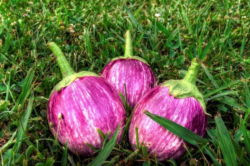 aka-Eggplant