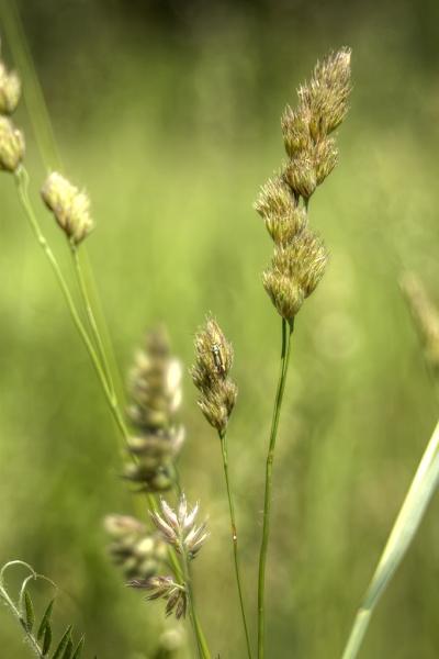 Whispering-Grass