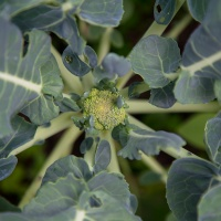 The Broccoli Cometh