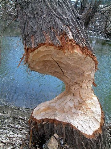 Beaverings