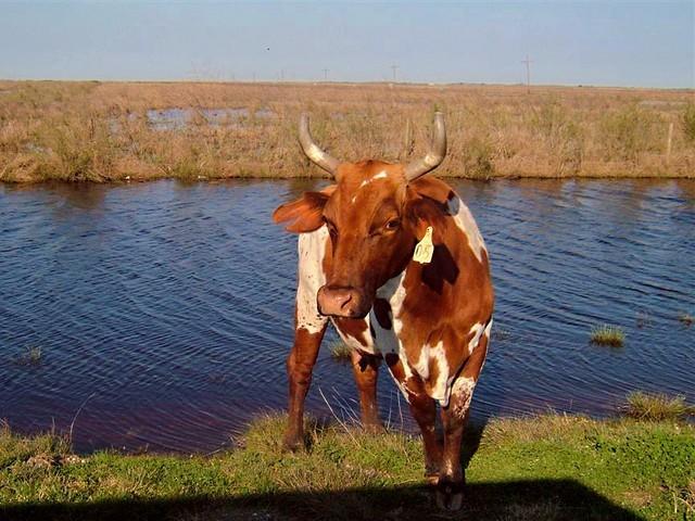 Marsh-Cow