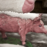 This-Little-Piggy