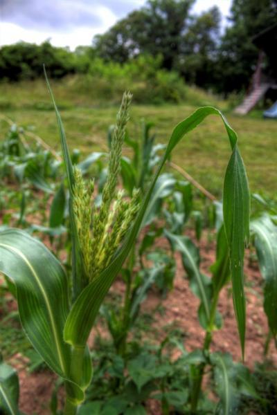 The-Corn-Cometh