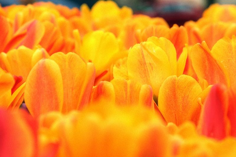 Tulip-Festie