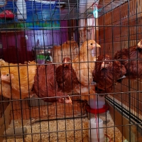 Lunch Atop a Chicken Perch