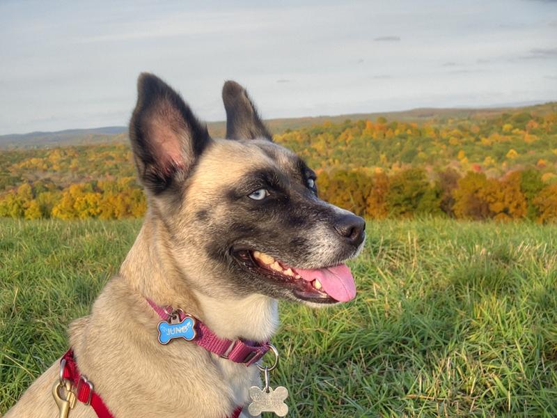 Juno-Dog