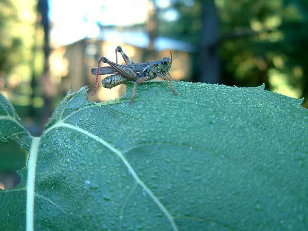 Patience-Grasshopper